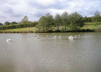 Swans on Specimen Lake